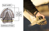 how to measure hoof